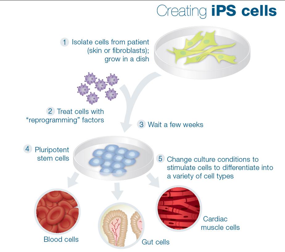ipsc21, creating ips, ipscs, ipsc reprogramming, induced pluripotent stem cells, yamanaka ipsc, Shinya Yamanaka,